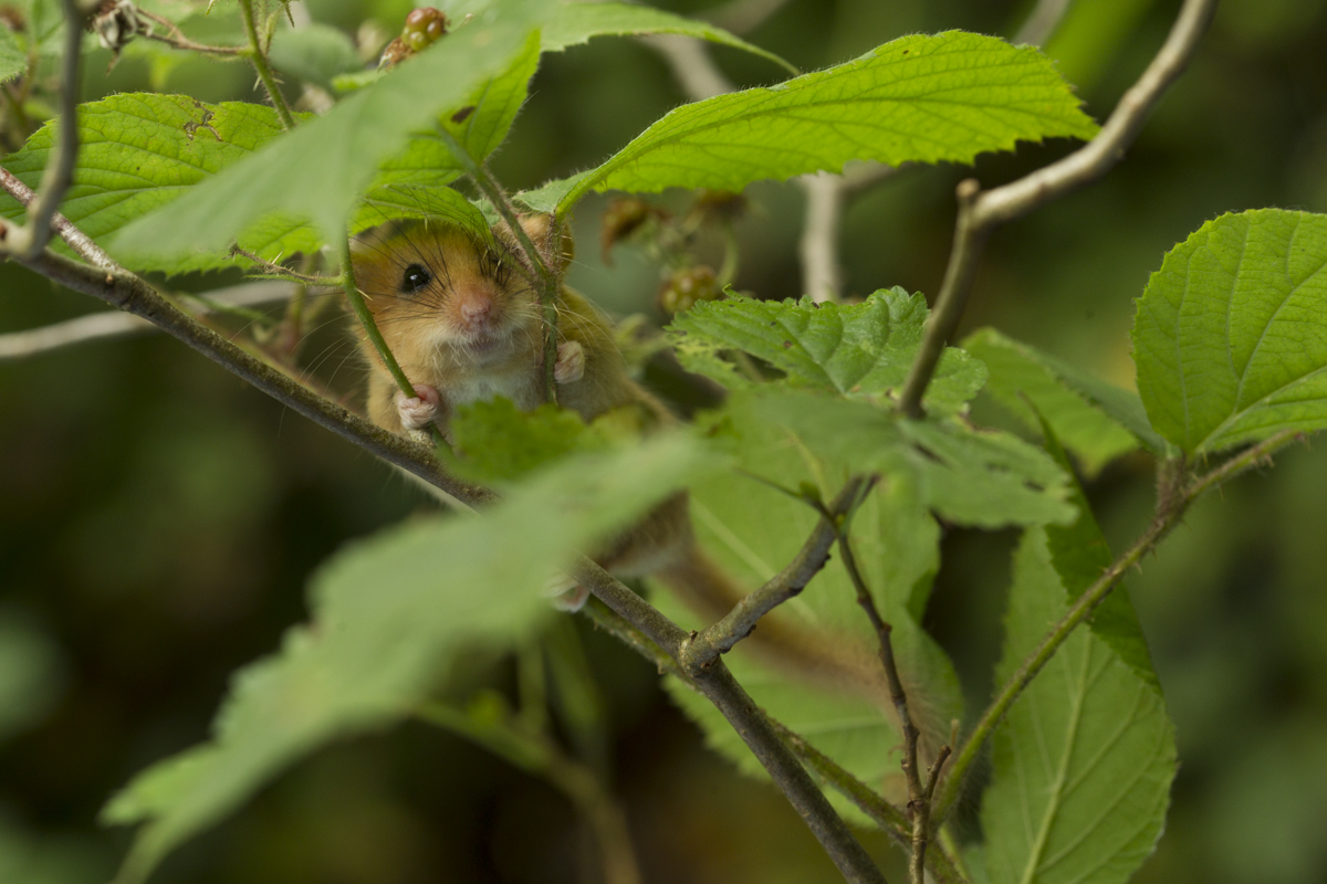 Dormouse In Bramble 1