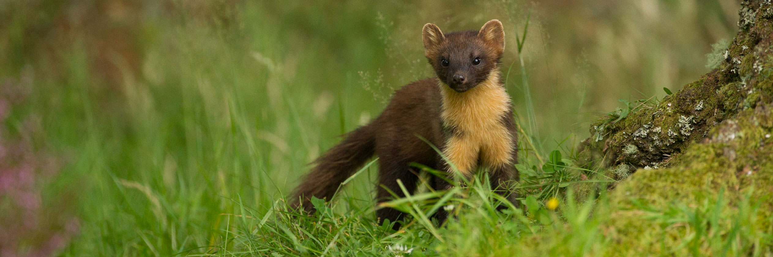 CATCHING UP WITH THE ELUSIVE PINE MARTEN