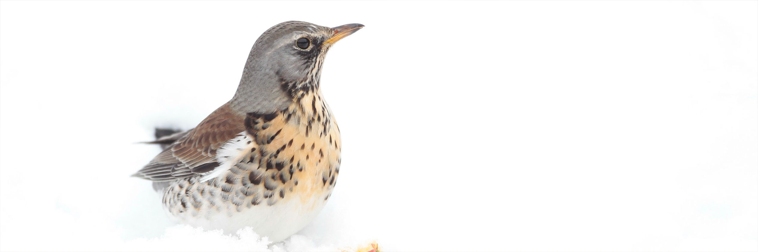Great views of winter thrushes, a wildlife photographers guide