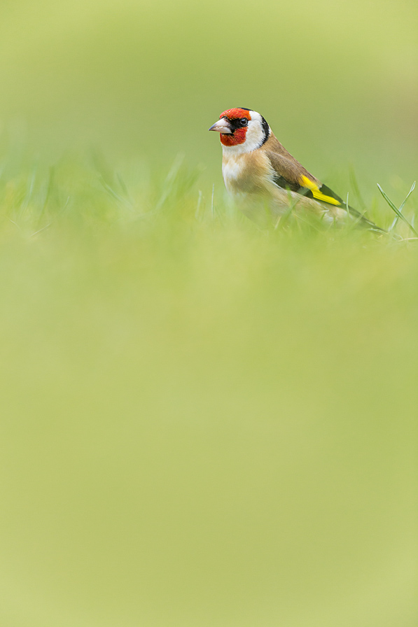 European Goldfinch IB03135250
