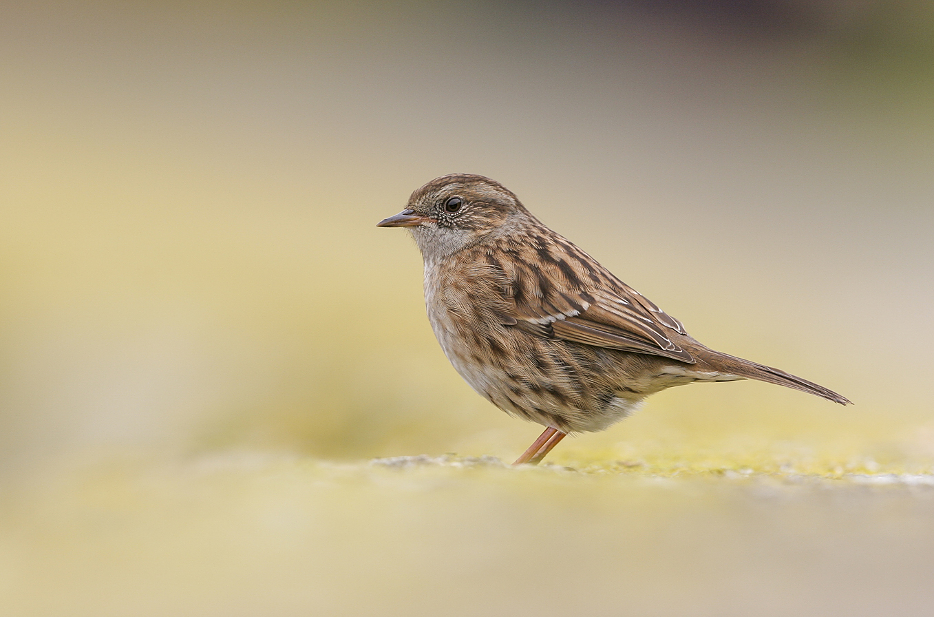 dunnock on sea wall