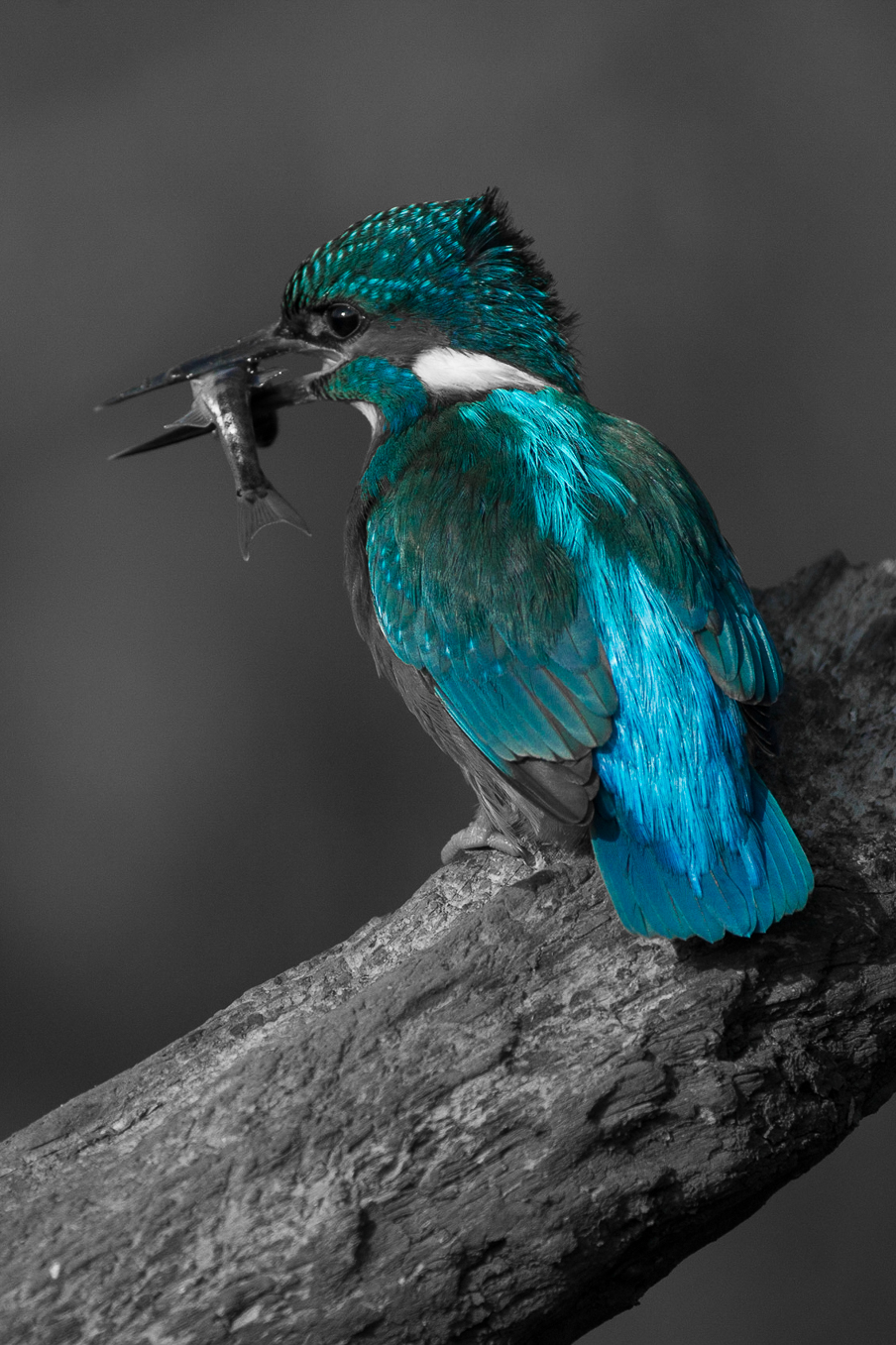 Kingfisher Colour 2