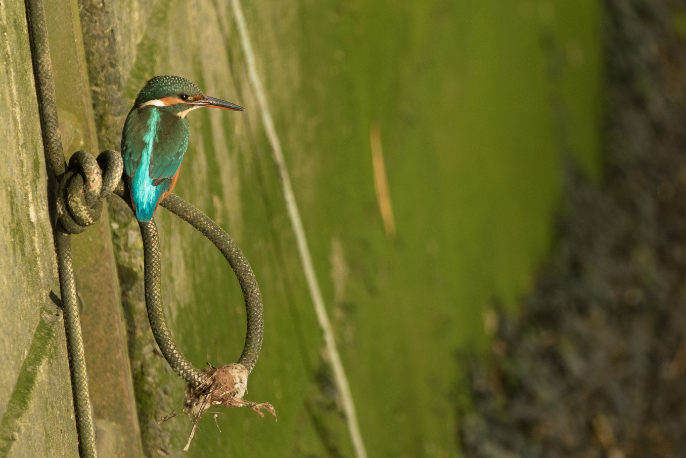 Kingfisher On Harour Wall