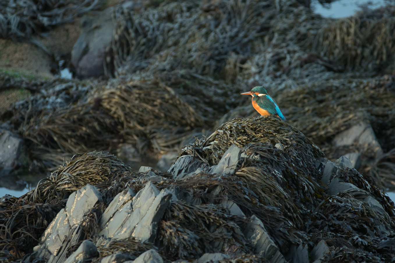Kingfisher On Rocks