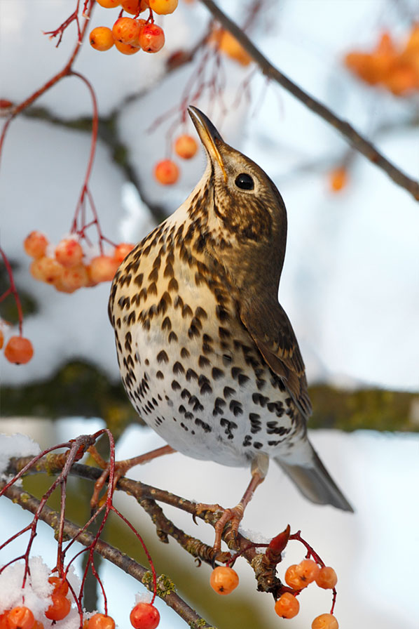 Thrushes01