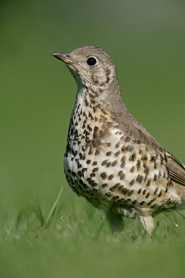Thrushes08