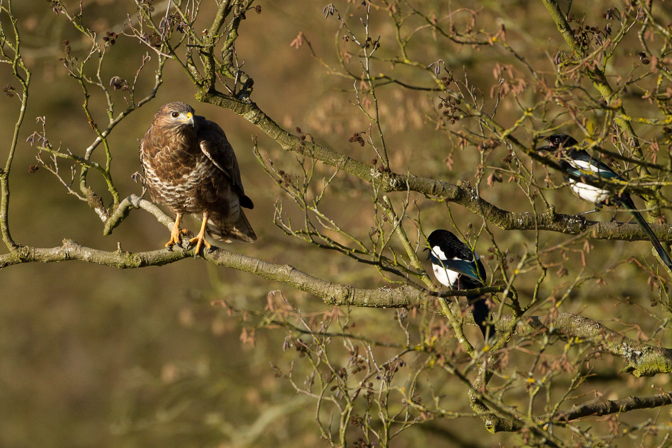 Buzzard And Magpies