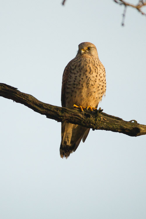 Kestrel Portrait 2
