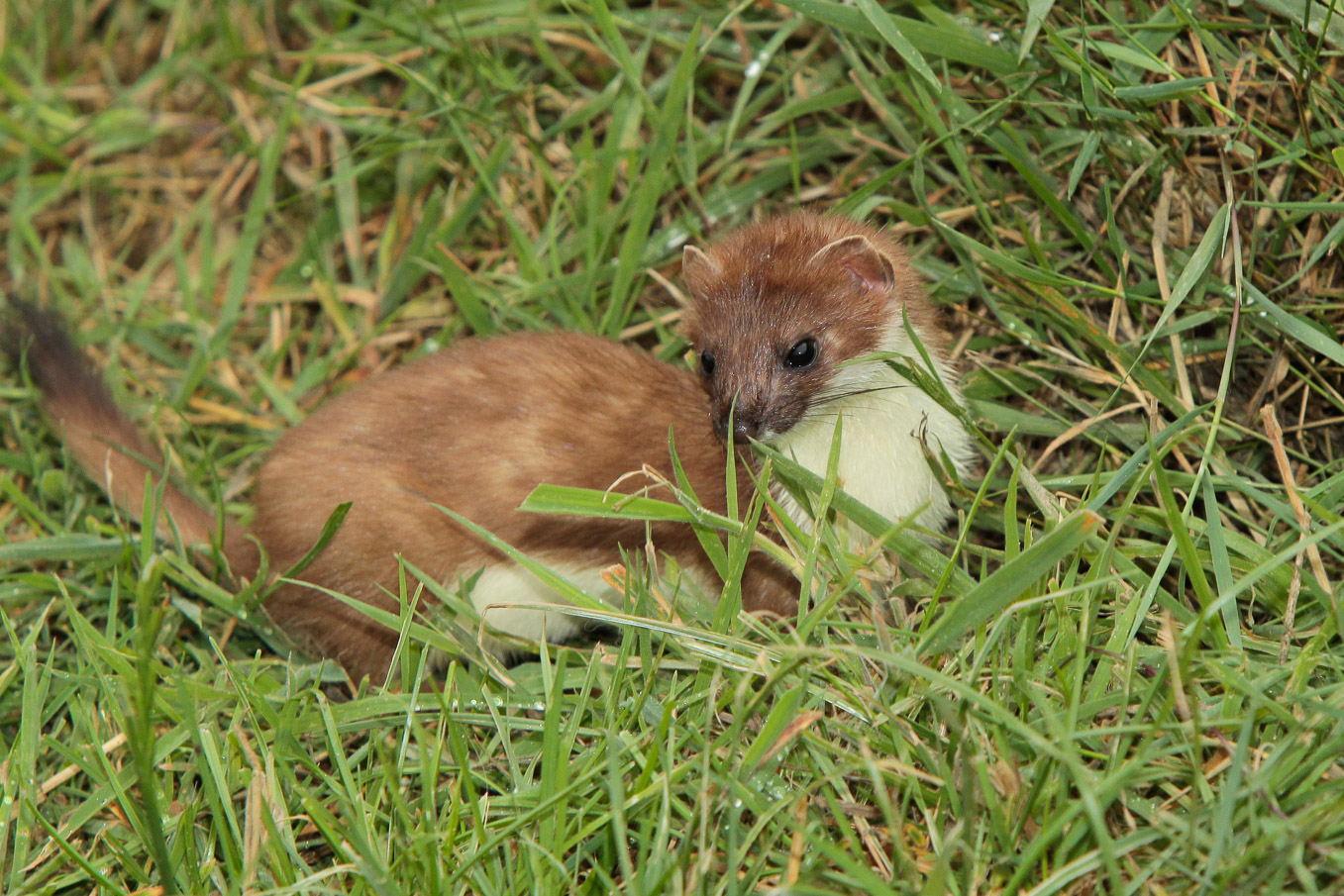 Stoat With Pale Tail