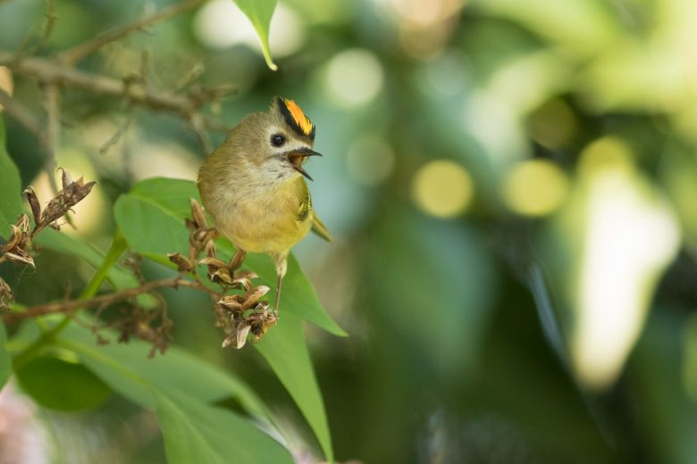 goldcrest singing