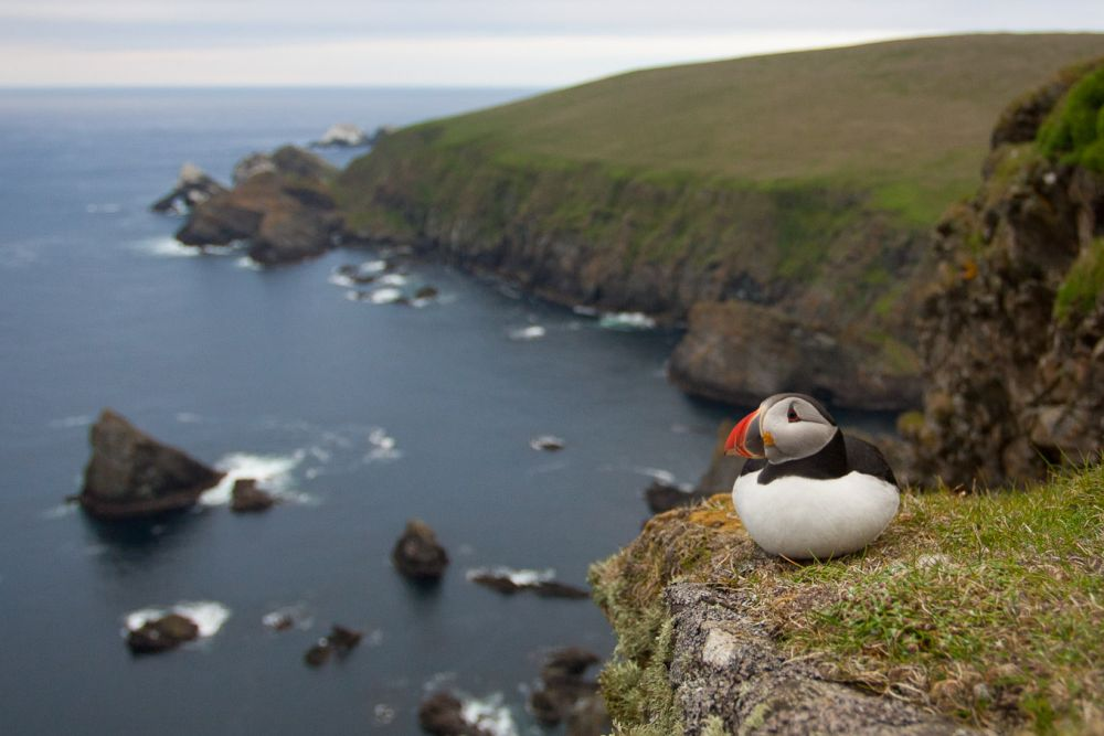 where to see puffins in uk