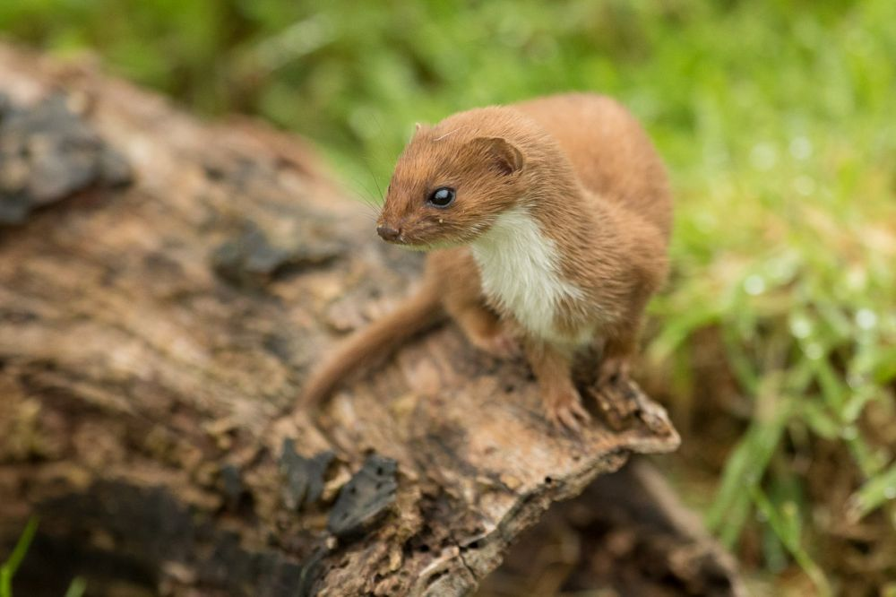 all about weasels and stoats